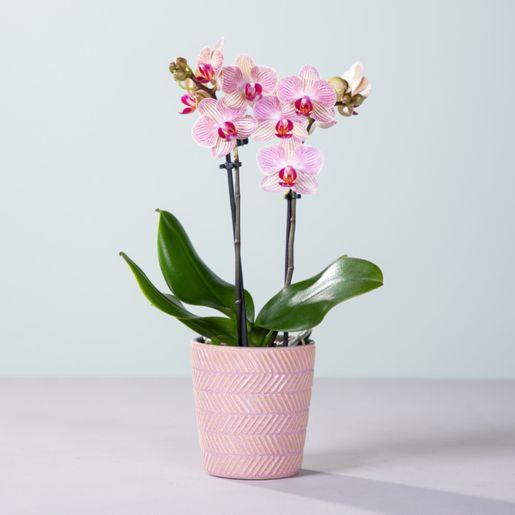 Orchidee Nepal mit Keramik-Übertopf