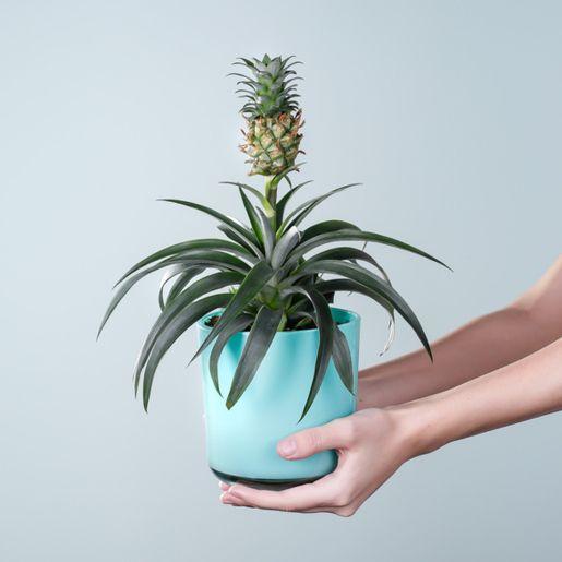 Ananaspflanze mit Glas-Übertopf