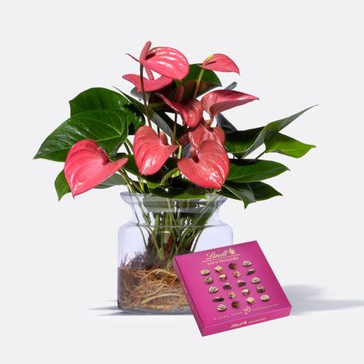 Water Plant Anthurie in Rosa mit Glasvase mit Lindt Mini Pralinés