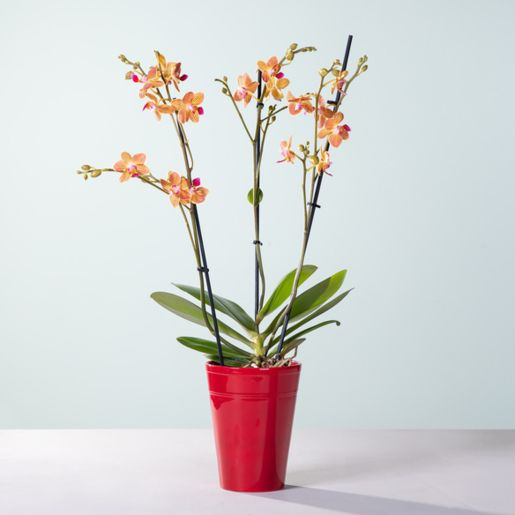 Orchidee Sunshine mit Keramik-Übertopf