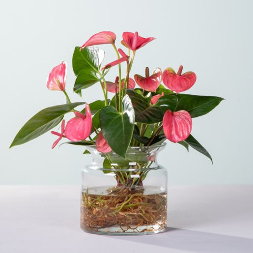 Water Plant Anthurie in Rosa mit Glasvase