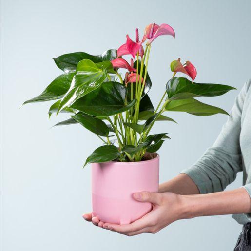 Anthurie in Pink mit Keramik-Übertopf