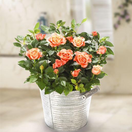 Orange Rose im Zinktopf