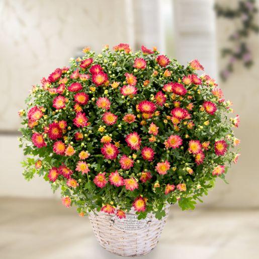 Rote Chrysanthemen im Weidenkorb