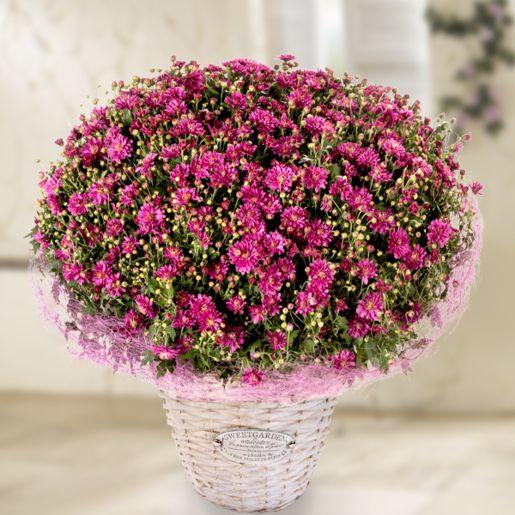 Pinke Chrysanthemen im Weidenkorb