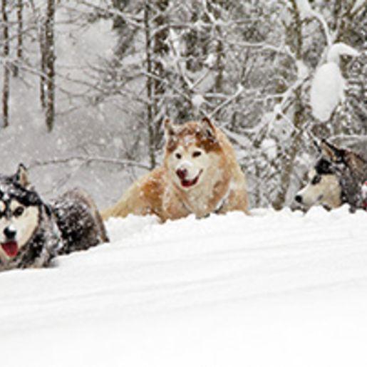 Husky-Workshop mit Uebernachtung im Spreewald