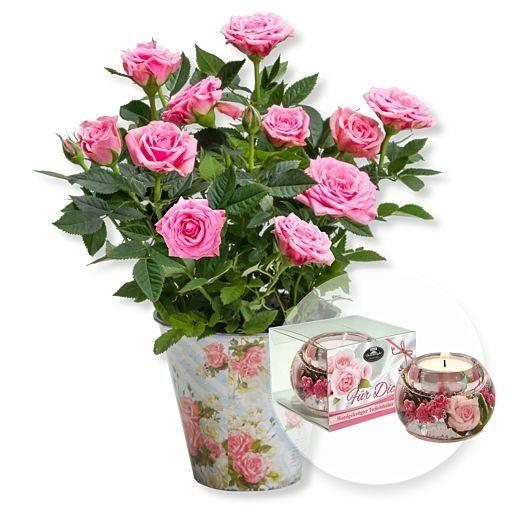 Rosafarbene Rose im romantischen Nostalgie-Topf und Dreamlight Für Dich