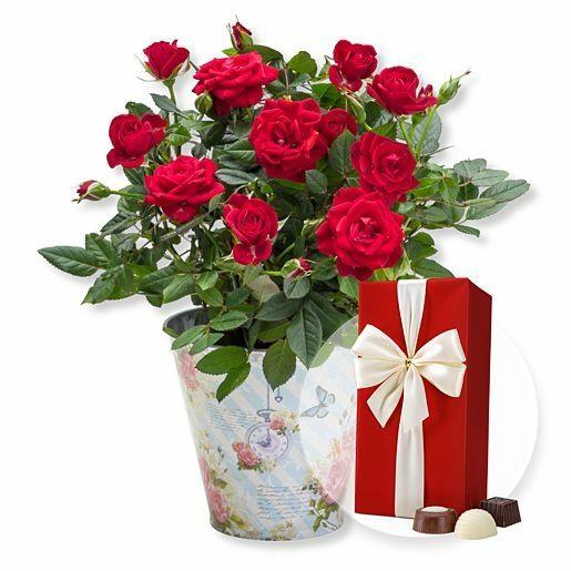 Rote Rose im romantischen Nostalgie-Topf und Belgische Pralinen