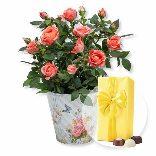 Orangefarbene Rose im romantischen Nostalgie-Topf und Belgische Pralinen