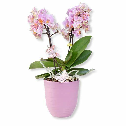 Rosa Orchidee im fliederfarbenem Keramiktopf