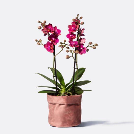 Blütentraum Orchidee in Pink mit Samt-Übertopf