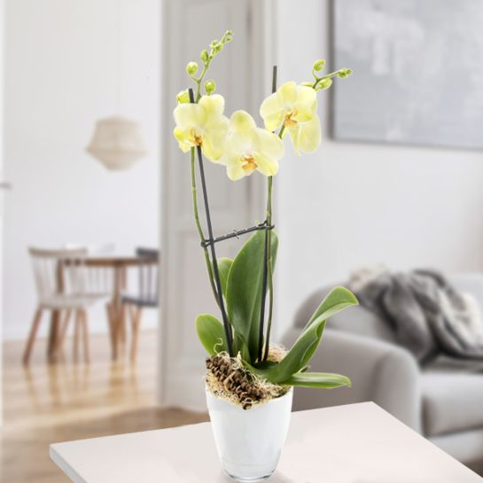 Orchidee im gelbem Topf mit gelben Blüten